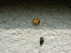 羽化後、ちょっと赤くなったてんとう虫